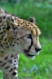 Gepard i den Exmoor zoo Arkivbilder