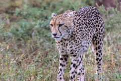 Gepard i den Kruger nationalparken Arkivbilder