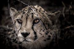 Gepard i mörkret Arkivbilder
