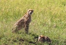 Gepard i Maasai Mara, Kenya Fotografering för Bildbyråer