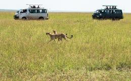Gepard i Maasai Mara, Kenya Arkivfoto