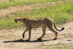 Gepard i Maasai Mara, Kenya Arkivfoton