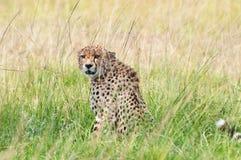 Gepard i savannahen i Afrika royaltyfri foto