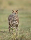 Gepard i savannet Närbild kenya tanzania _ Chiang Mai serengeti Maasai Mara royaltyfria foton