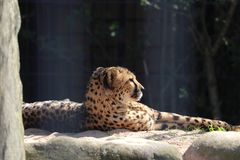 Gepard i zoo i Stuttgart royaltyfria foton