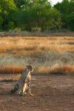 Gepard im goldenen Licht Lizenzfreie Stockfotos