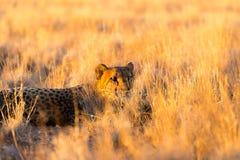 Gepard im Nationalpark Etosha, Namibia Stockfoto