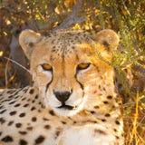 Gepard im Nationalpark Etosha, Namibia Lizenzfreies Stockbild