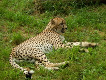 Gepard im Ruhezustand Stockfotos