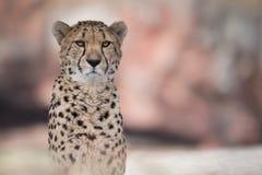 Gepard im scharfen Fokus mit undeutlichem Bokeh-Hintergrund Stockfoto