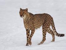 Gepard im Schnee lizenzfreie stockfotografie