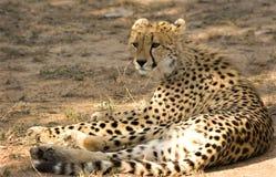 Gepard im Thornybush Spiel-Vorbehalt Lizenzfreie Stockfotos