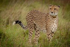 Gepard im wilden in Kwazulu Natal Lizenzfreies Stockfoto