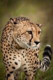 Gepard im wilden in Kwazulu Natal Lizenzfreie Stockfotografie