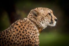 Gepard im wilden in Kwazulu Natal Stockfotografie