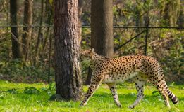 Gepard im Zoo lizenzfreies stockbild