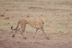 Free Gepard Is Watching You, Safari In Kenya Stock Photo - 103616150