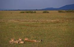 Gepard, Jachtluipaard, Acinonyx jubatus stockbild