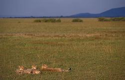 Gepard Jachtluipaard, Acinonyxjubatus fotografering för bildbyråer