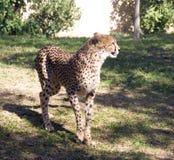 Gepard jest ssaka carnivore kot rodziny Afryka środkowy Wschodni lampart dostrzegający Zdjęcie Stock