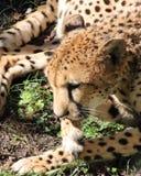 Gepard kłaść w trawie Zdjęcia Stock