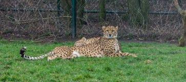 Gepard kłaść w trawie i patrzeje w kierunku kamery, popularny zoo zwierzę, podatny zwierzęcy specie od Afryka obraz stock