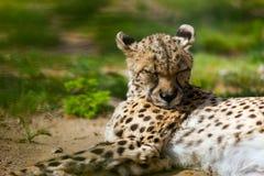 Gepard kłama nad trawą Zdjęcia Royalty Free