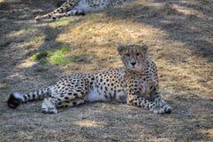 Gepard kłama puszek w cieniu Zdjęcie Stock