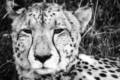 Gepard in Kalhari stockfotos