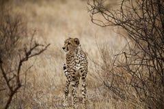 Gepard in Kenia (Acinonyx Jubatus) Lizenzfreie Stockfotos