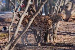 Gepard kra?? w?r?d drzew cienie i nier?wna kolorystyka sk?ry du?y kot tworzy znakomitego przebranie zdjęcia royalty free
