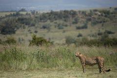 Gepard-Landschaft in Afrika lizenzfreies stockfoto