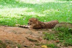 Gepard liegt auf dem Gras Stockbild