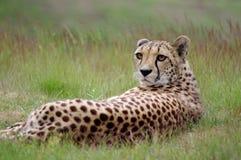 Gepard liegt im Gras lizenzfreie stockbilder