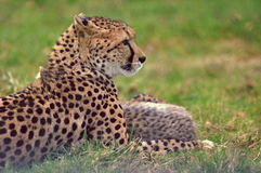 Gepard in LongLeat Lizenzfreie Stockfotografie