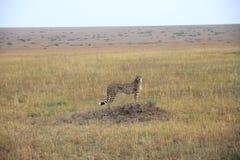 Gepard - Masai Mara - Kenya Arkivbild