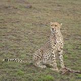 Gepard med ett fritt byte royaltyfri fotografi
