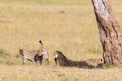 Gepard med gröngölingar som ner ligger Arkivfoto