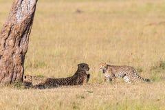 Gepard med gröngölingar som ner ligger Royaltyfria Bilder