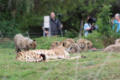 Gepard miłość obrazy royalty free
