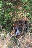 Gepard mit Beute Bush des Masais Mara, Kenia stockfotografie