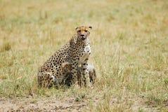 Gepard mit Jungem lizenzfreie stockfotos