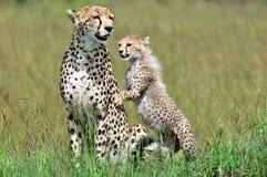 Gepard mit Jungem Lizenzfreies Stockbild