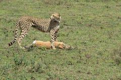 Gepard mit Opfer Stockbilder