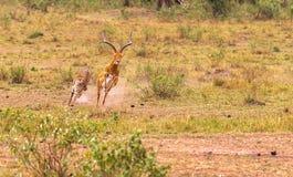 Gepard mot impalan Arkivbild