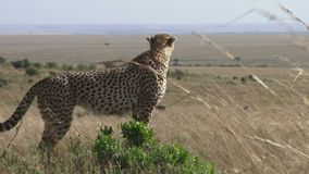 Gepard na anthill zbiory wideo