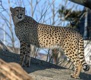 Gepard na kamieniu fotografia royalty free