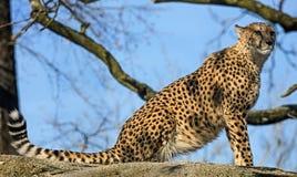 Gepard na kamieniu zdjęcia stock