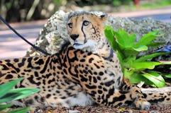 Gepard na smyczu Fotografia Royalty Free