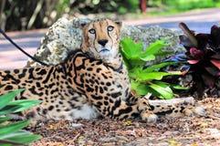 Gepard na smyczu w zoo Zdjęcia Royalty Free